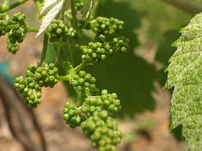 macro shot of some teeny green grapes