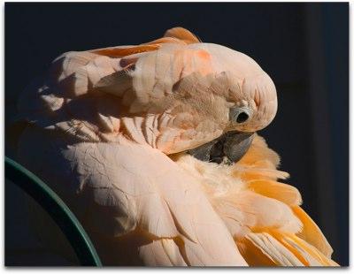 Len's Cockatoo
