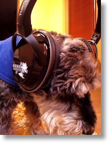 bert the schnauzer wearing the M15 headphones (George is weird)