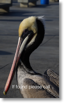 "lock screen of a pelican, message is ""if found please call"""